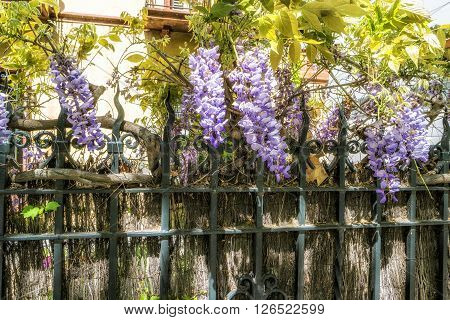 Wisteria clings to an iron grate fence