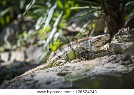Outdoor Nature Close Up Of Lizard In The Wild