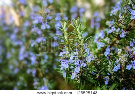 blossoming rosemary plants in the herb garden selected focus narrow depth of field