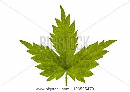 Young hops leaves closeup isolated on white background
