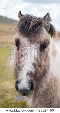 A wild Dartmoor pony stares at the camera, taken on Dartmoor in Devon and Cornwall, England.