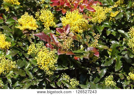 Flowers of a Oregon grape bush Mahonia aquifolium.