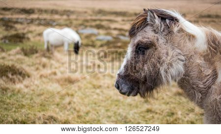 Two wild ponies on Dartmoor,  Cornwall and Devon, England.