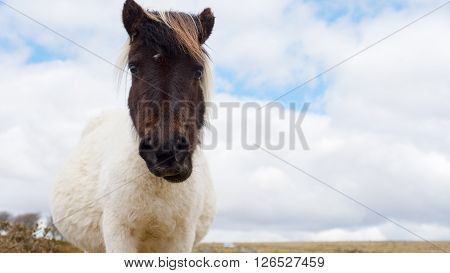 A pregnant wild Dartmoor pony stares at the camera, taken on Dartmoor in Devon and Cornwall, England.