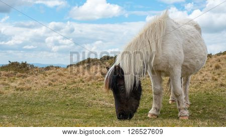 A wild pregnant dartmoor pony grazing grass on the moors
