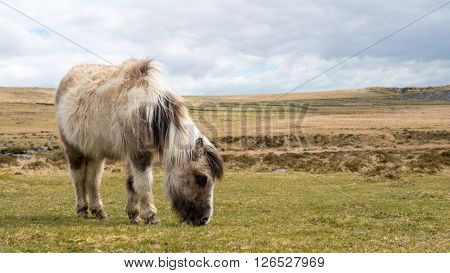 A wild dartmoor pony grazing grass on the moors