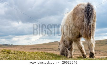 A wild dartmoor pony grazing grass on the moors, england