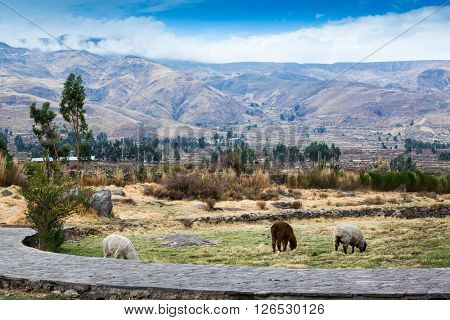 flock of sheep in a pasture in the mountains