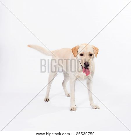 Golden Labrador - Retriever On A White Background