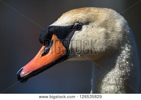 Head of Mute swan (Cygnus olor) against blue water