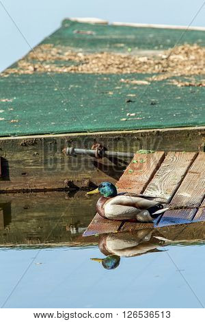 A mallard duck sits on the ramp leading to the dock on Hauser Lake Idaho.