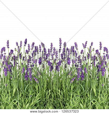 Lavender flowers isolated on white background. Fresh lavender plants