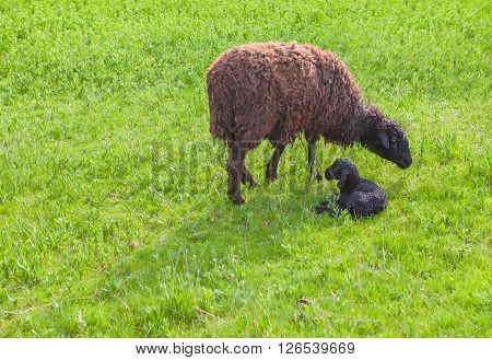 mother sheep and its just born baby on the green meadow