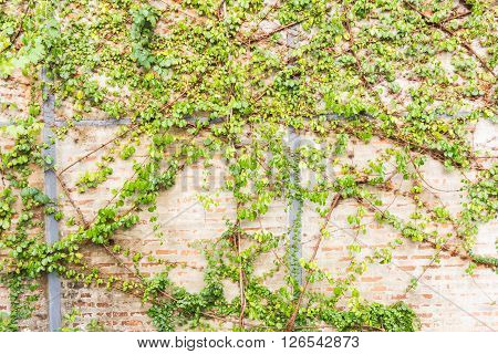 Vine Branch, Vine Leaves On Wall Background