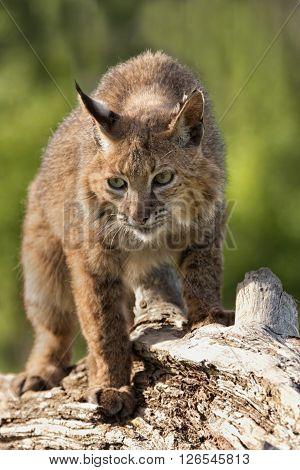 Bobcat Walking on a fallen log in the woods