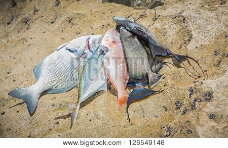 Various fresh fish caught from Atlantic ocean at Cuban Varadero island lies on brown rocky surface