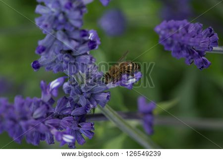 Honeybee gathering pollen in tall purple flower