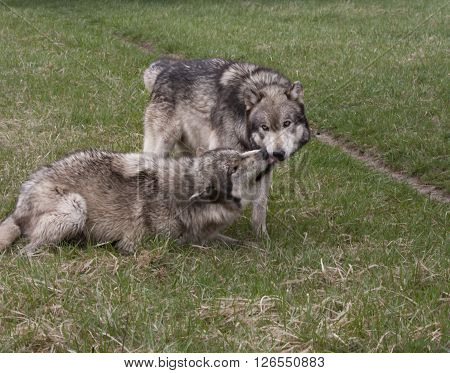 Dominant and submissive grey wolves showing behavior