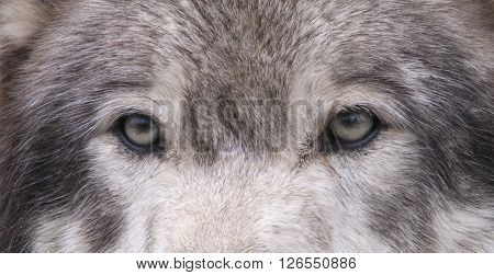Close up of a grey wolf's eyes