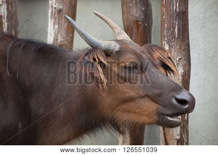 African forest buffaloes (Syncerus caffer nanus), also known as the red buffalo or dwarf buffalo. Wild life animal.