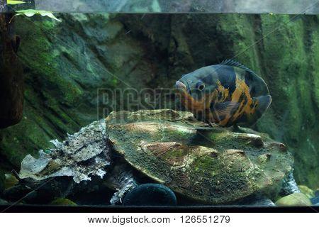 Oscar (Astronotus ocellatus) swimming over the mata mata (Chelus fimbriata). Wild life animal.
