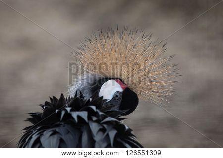 Grey crowned crane (Balearica regulorum). Wild life animal.
