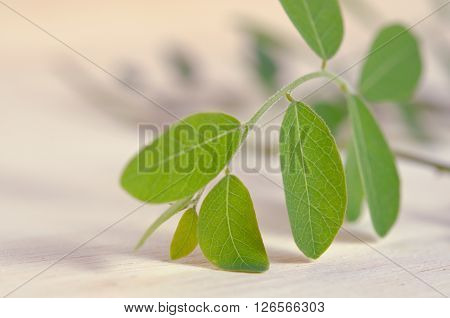Moringa (Other names are Moringa oleifera Lam. MORINGACEAE Futaba kom hammer vegetable hum hum bug bug Hoo) leaves on wooden board background ** Note: Shallow depth of field