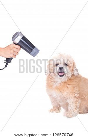 Groomer using blow dryer on a dog