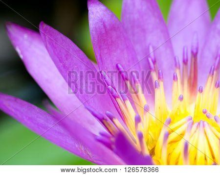 close up pollen purple lotus bloom background