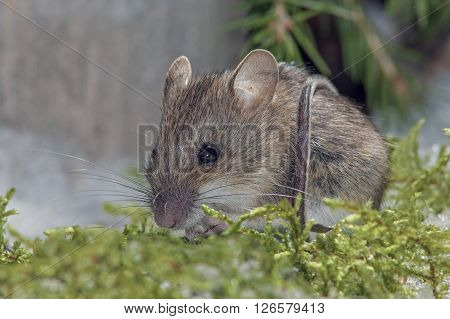 beautiful field mouse sitting on green branches