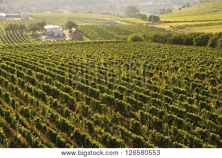 Vineyard with the evening sun glare and farm at the backgroung