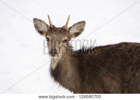 Head and front part of body of younf buck on white background
