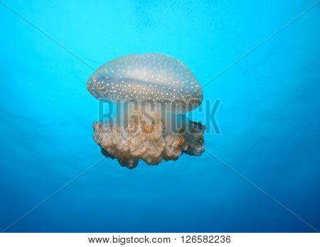 jellyfish medusa underwater photo Cuba caribbean sea