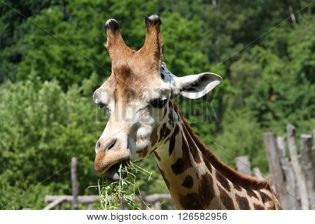 head and neck of the giraffe eating grass