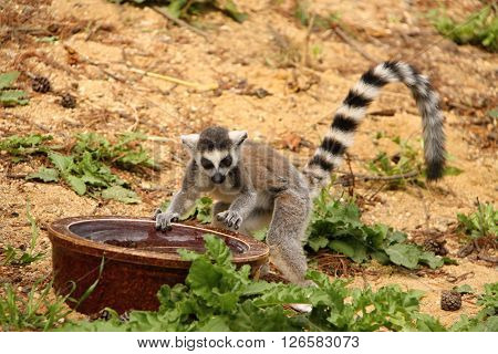 lemur playing with the water in the bowl