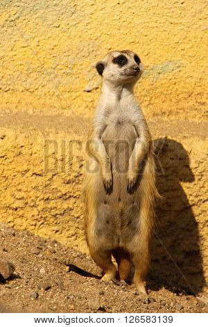 Suricate standing by the yellow wall on the watch