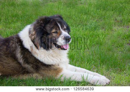 Adult Caucasian Shepherd dog. Fluffy Caucasian shepherd dog is lying on the green grass