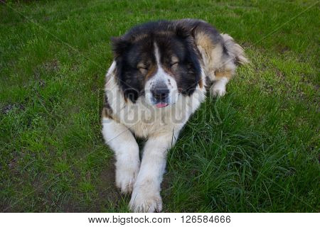 Adult Caucasian Shepherd dog. Fluffy Caucasian shepherd dog is lying on the green grass with screwed-up eyes