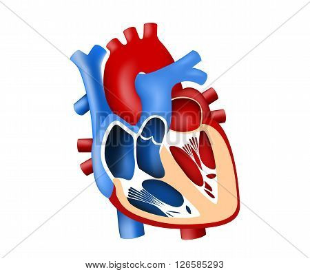 function and definition human heart tridimensional vector illustration