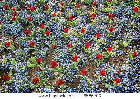 Red tulips and forget-me-not flowers planted in the park. View from above. Beauty in nature.