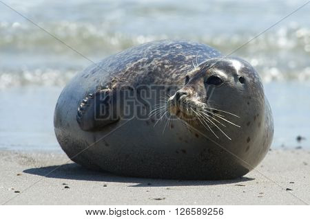 Close up of gray seal (Halichoerus grypus) at the beach at Dune Helgoland Germany