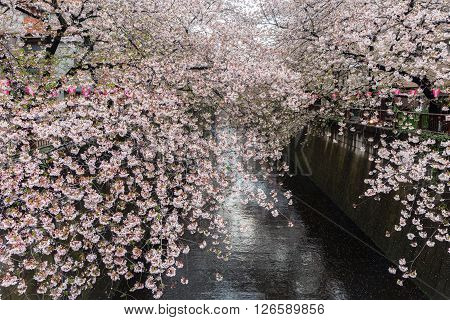 Nakameguro Canal this area is popular sakura spot in Tokyo with beautiful canal.