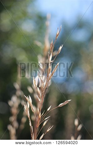 Yellow tops of grass spikelet in summer