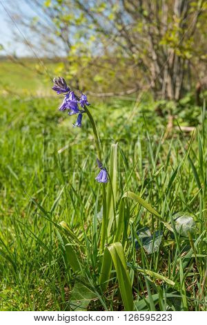 Purple budding and blossoming Common bluebell or Hyacinthoides non-scripta plant alone in the wild nature of the border region Netherlands-Belgium.