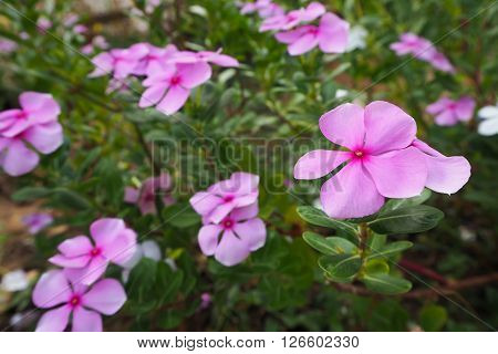 Group of Pink Vinca flower ,Asian Flower.