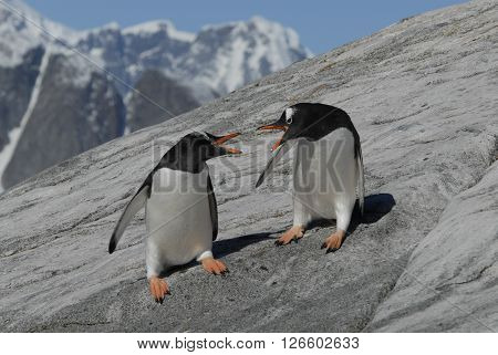 Two Gentoo Penguins fight on the rock in Antarctica