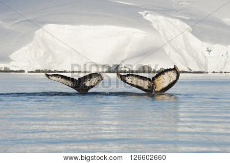 Two Humpback Whales tails with ice backgrownd