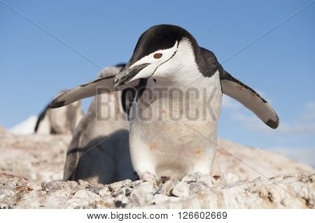 Chinstrap penguin on blue backgrownd  South Shetland Islands, Antarctica