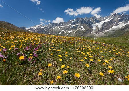 Alpine meadow with flowers in the summer (Italy)