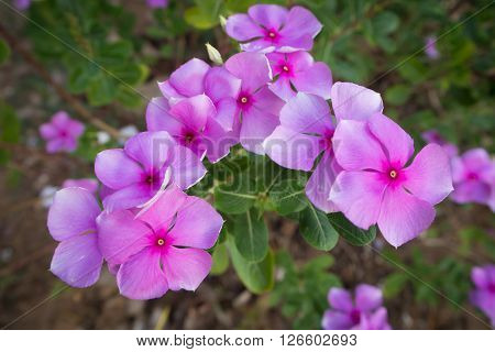Vinca flower and green leaf with ground.